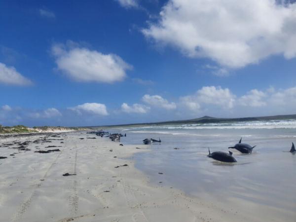 У Новой Зеландии сотни китов выбросились на берег