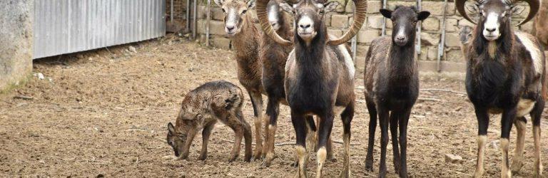В Одесском зоопарке пополнение в стаде европейских диких муфлонов, – ФОТО