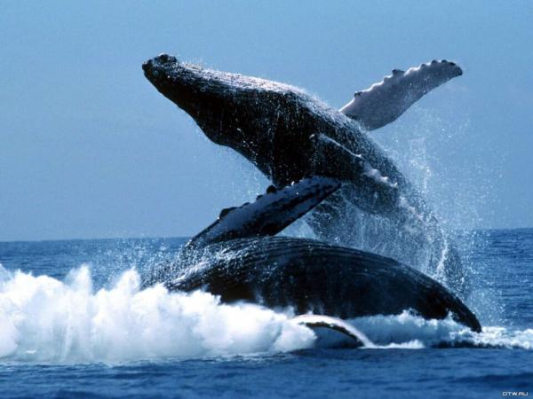 Американец угодил в пасть горбатого кита, но выжил